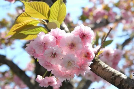 【中止】大村桜まつり-5